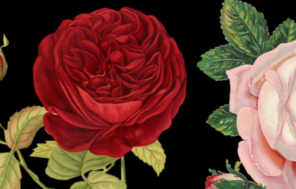 赤とピンクのバラ